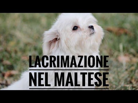 Lacrimazione  Maltese  tear stain