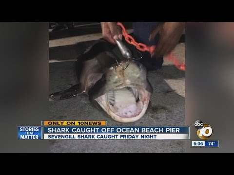 Shark Caught Off Ocean Beach Pier