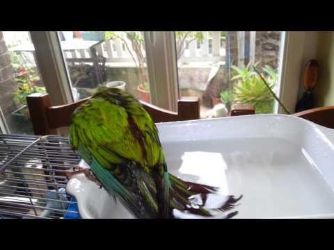 Perroquet pyrrhura leucotis emma dans son bain