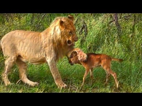 Thumbnail: Lion saves a baby calf from another lion attack