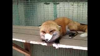 Chuckles the Red Fox :)