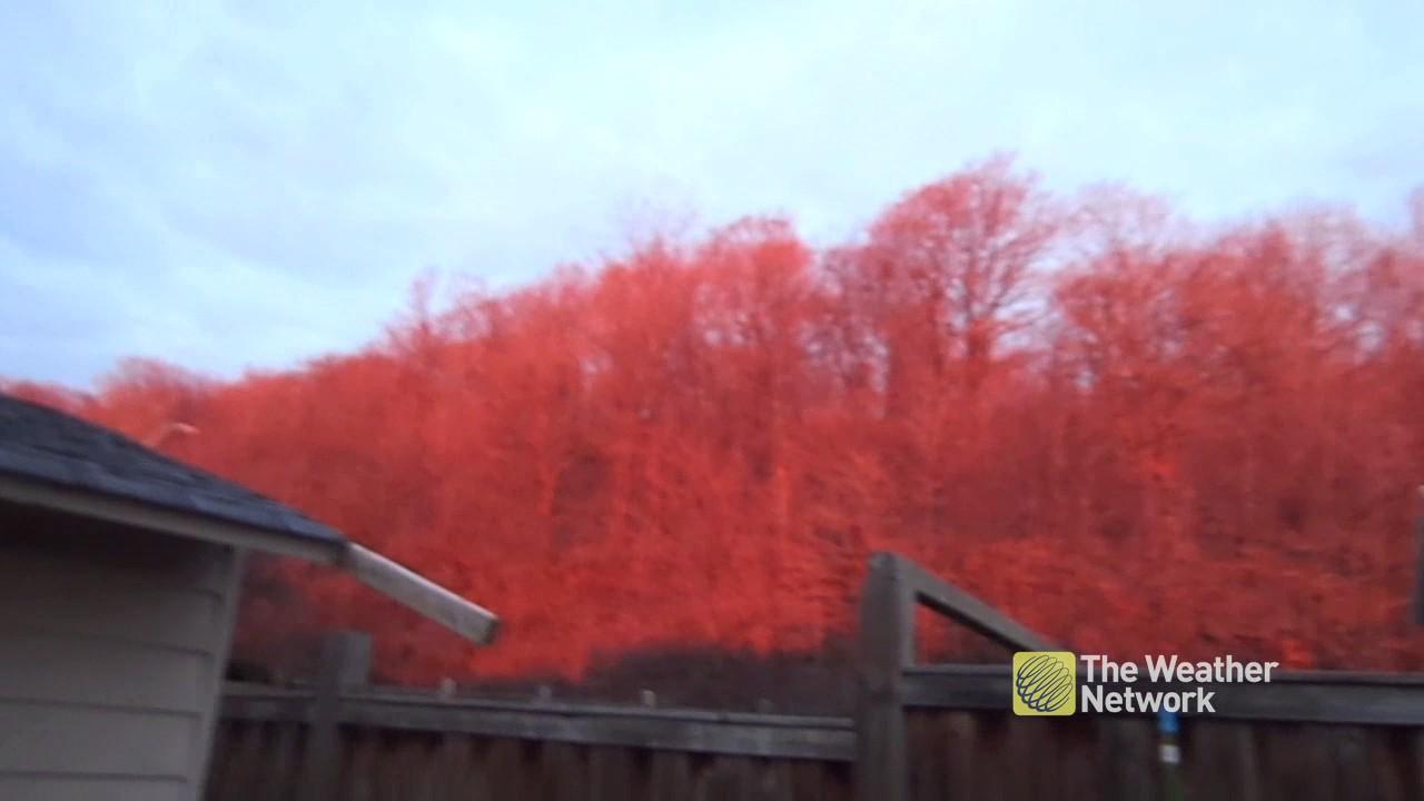 strange-trees-turn-red-behind-ontario-homes-during-sunrise