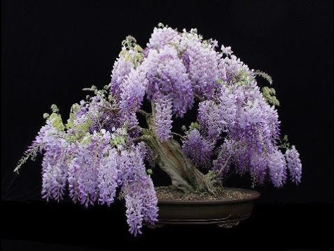 the care propagation of a wisteria bonsai youtube rh youtube com Bald Cypress Bonsai Ficus Bonsai