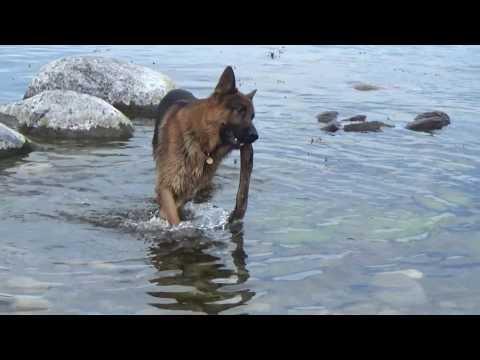 German Shepherd vs Swan, Sea swimming