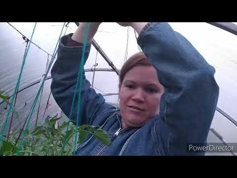 Как удалять листья у томатов 25.05.2020г