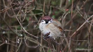 Cute fluffy tree sparrow perching on the twig and looking around