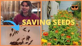 Zinnia  Flower Seed Saving Tips