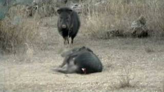 ABSOLUTELY NOT FOR SENSITIVE VIEWERS.  PEST CONTROL. Javelina Hunting. DO NOT WATCH IF PEST CONTROL
