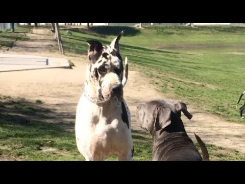 Giant Great Dane Runs Over Cane Corso/Pit Mix