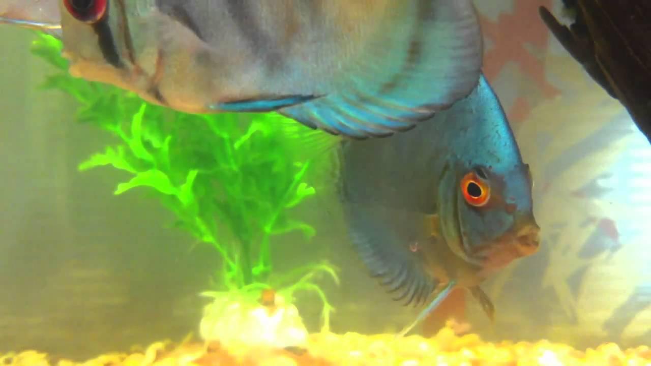 Peces disco variedad cobalto azul de 2 1 2 youtube for Variedad de peces