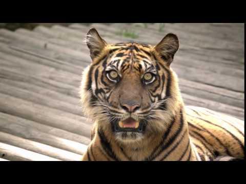 4k - Tiger eyes and big teeth - Samsung
