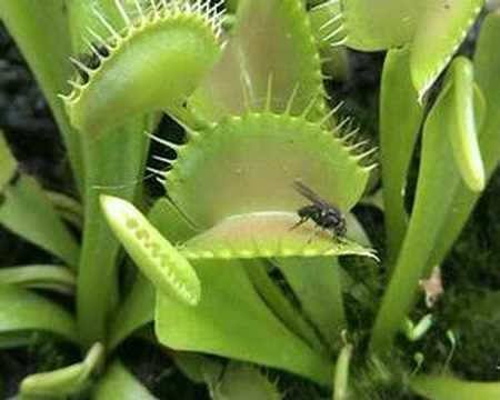 Plante carnivore en action dionaea muscipula youtube for Plante carnivore