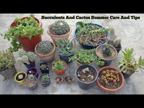 Succulents And Cactus Summer Care And Tips