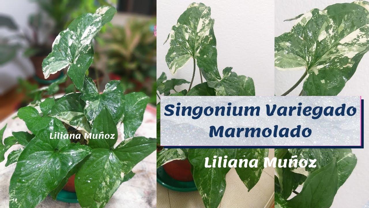 SYNGONIUM VARIEGADO  MARMOLADO / Liliana Muñoz