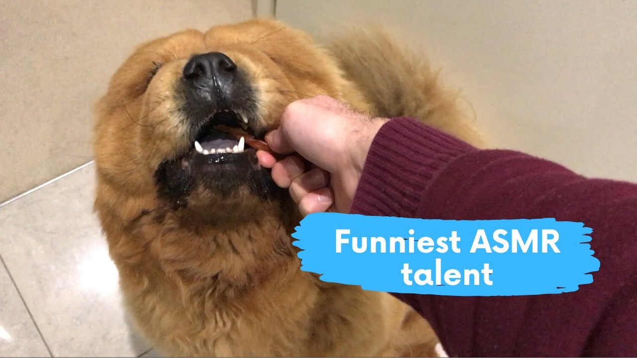 Chow Chow owner discovers an insane talent in his dog | Funny ASMR test
