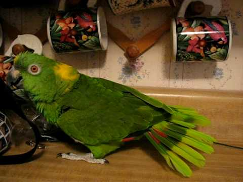 SINGING AND TALKING FUNNY PARROT* SHASTA*