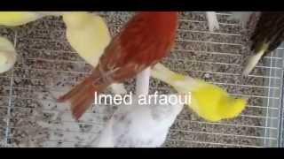 الحبة السحرية لتصفية صوت الطيور