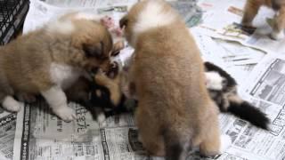 ラフコリーのMOAの子犬達、生後35日目です。益々やんちゃになって...
