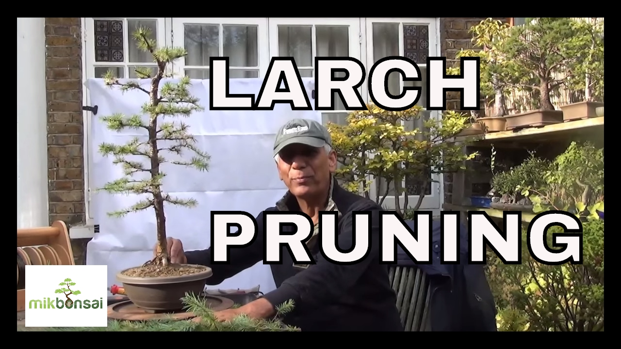 Larch Bonsai Trees How To Care For Larix Decidua European Wiring Lesson Pruning Part 1