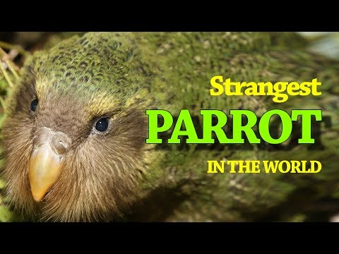 Strangest Parrot of the world KAKAPO