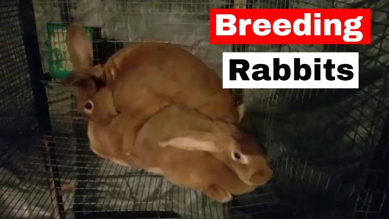 Rabbit Breeding January 20 FFA Meat Pen