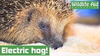 Poor hedgehog gets stuck on electric fence!