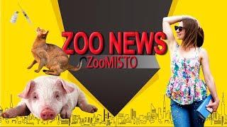 Вакцина против аллергии на шерсть и свинья преследователь | Новости из мира животных #12 | ZooMisto