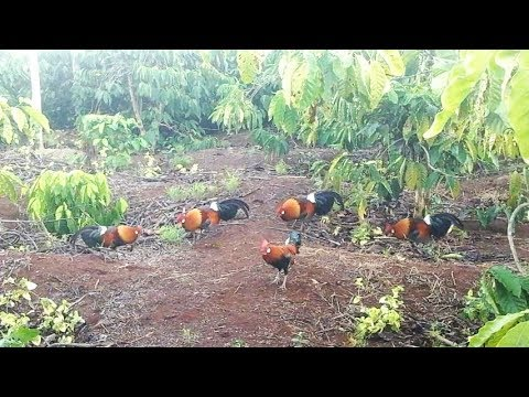 THE RED JUNGLEFOWL SUDDENLY ATTACKED THE ROOSTER