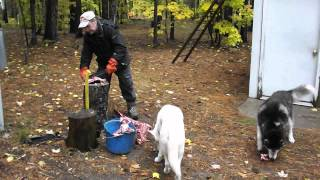 Processing Raw Venison Into Siberian Husky Sled Dog Food