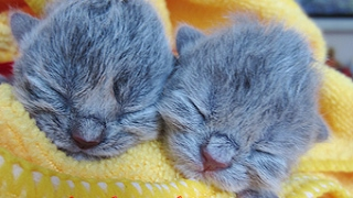 Британские котята в возрасте неделя. Сладкий сон. One week kittens.