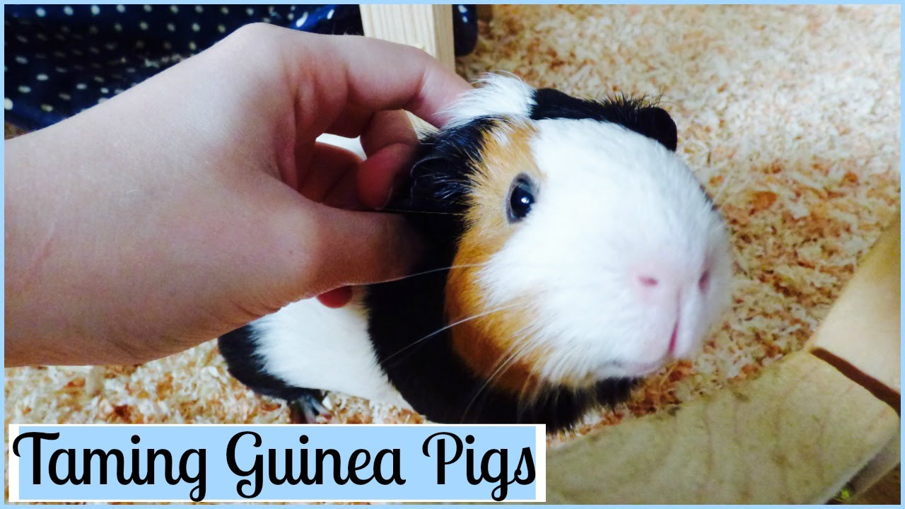 How To Tame Your Guinea Pigs 7 Tips Youtube