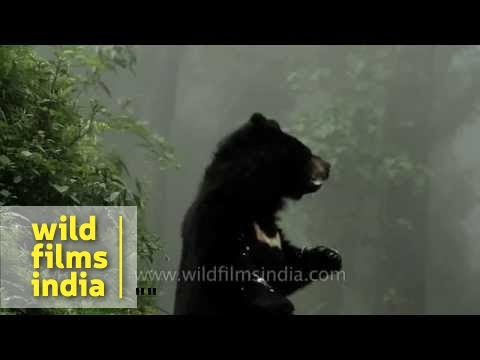 Himalayan Black Bear rears up on his hind legs
