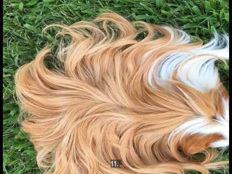 27 Photos Proving Us That Guinea Pigs Are Killing It With Their Awesome Hair Styles!