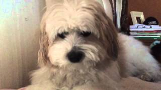 Coton de Tulear Saying Hello