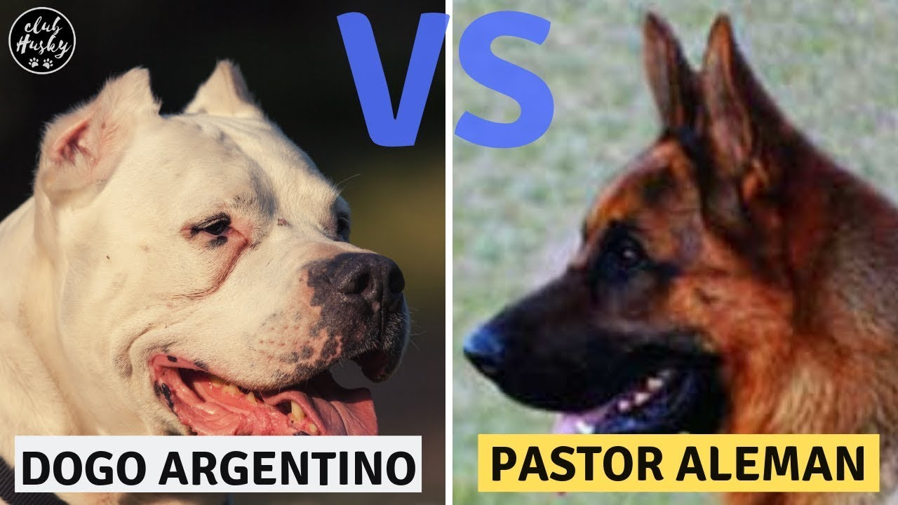 Dogo Argentino Vs Pastor Aleman Youtube
