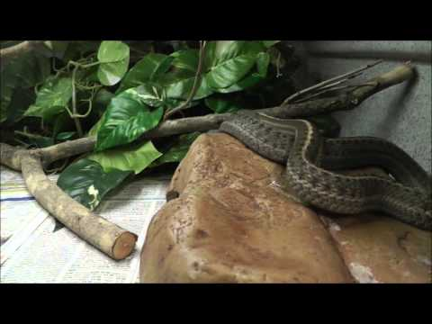 Interacting with a wandering garter snake