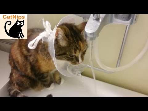 Thirsty Cat Puts Cone of Shame to Brilliant Use | Catnips