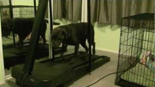 How To Train Your Dog To Run On The Treadmill. Leash Free!