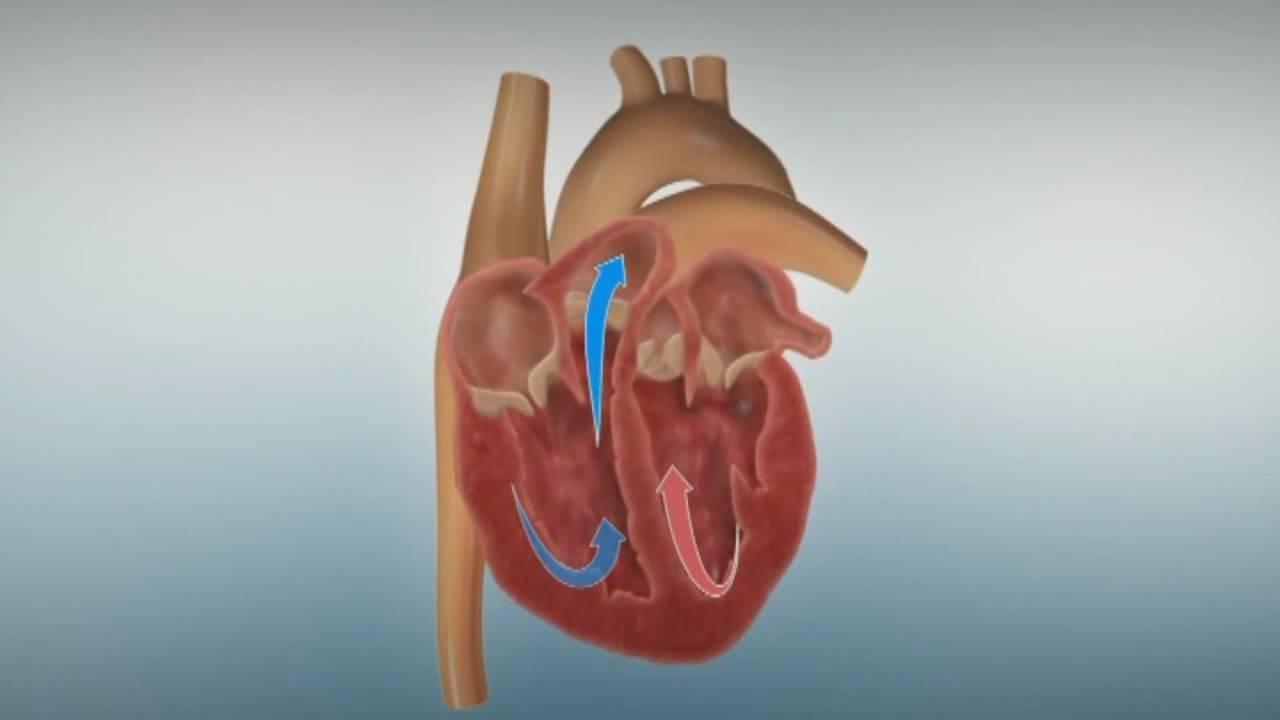 Aufbau und Funktion des Herzens (1/10) - YouTube