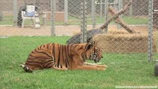 Freedom for Hoover the tiger after life spent in circus cage