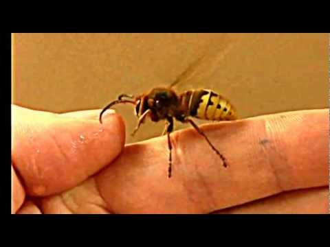 Giant European Wasp Picked Up By Hand