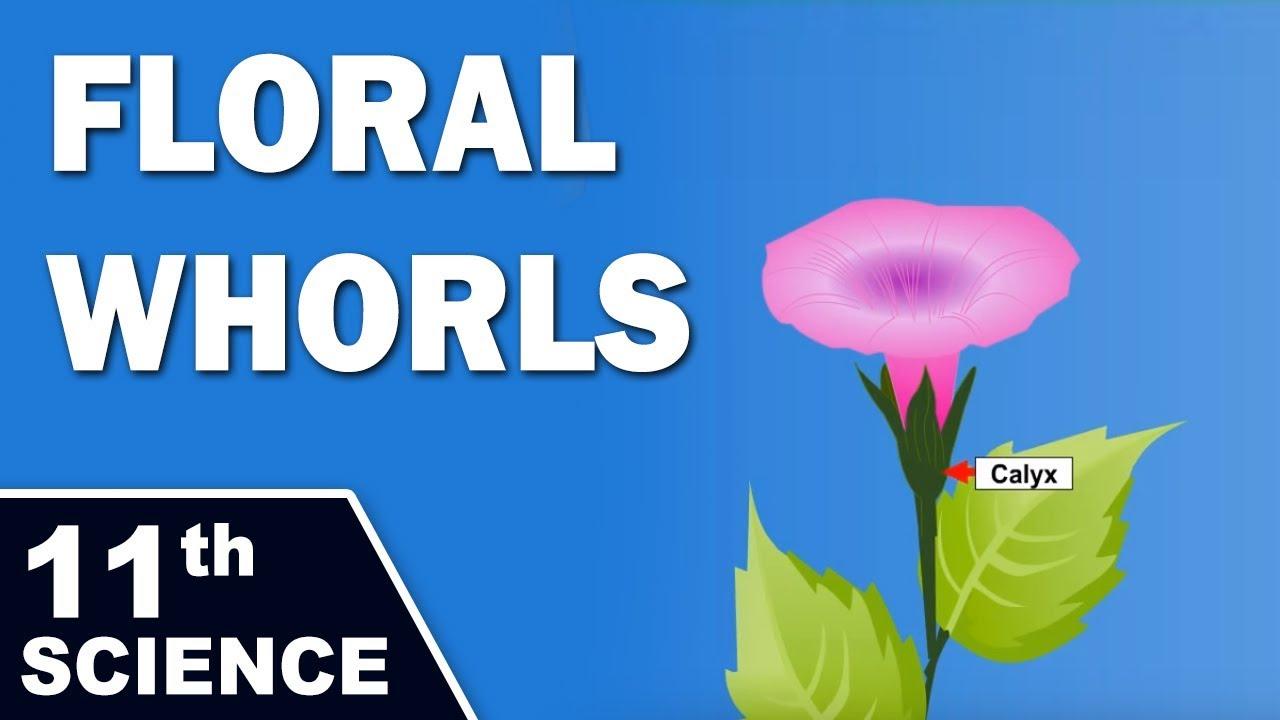 Floral Whorls 11th Std Biology Science Maharashtra Board