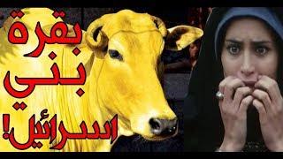 قصة سورة البقرة التي يجهلها المسلمون ويعلمها اليهود!! ومن هو صاحب البقرة الحقيقي!!