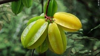 Star Fruit (carambola) Tree Transplants