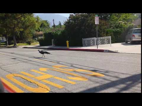 2014-05-26 VIDEO Peacock strutting in Monrovia, CA 373