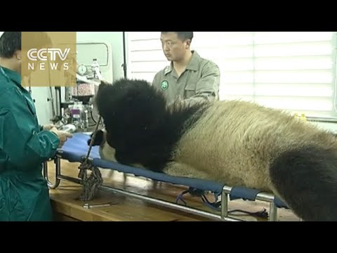 Caught on cam: Panda breeding base collects panda semen