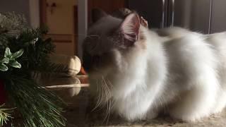 Ragdoll Kitten - Мы снова в эфире! Котенок Рэгдолл  - 8 месяцев
