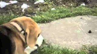 Welovebeagles - Beagles Barking!