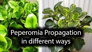 PEPEROMIA PROPAGATION/LEAF CUTTINGS/VARIEGATION
