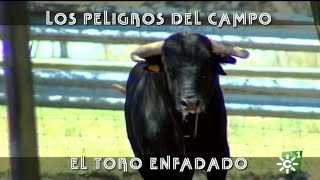 Toro enfadado se encara al mayoral de Collado Ruiz  | Toros desde Andalucía